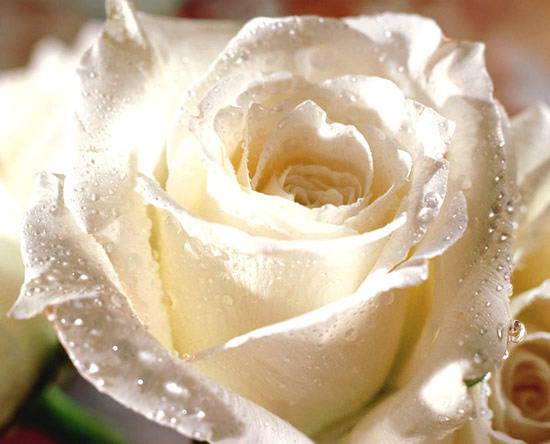 Rose immagine 4