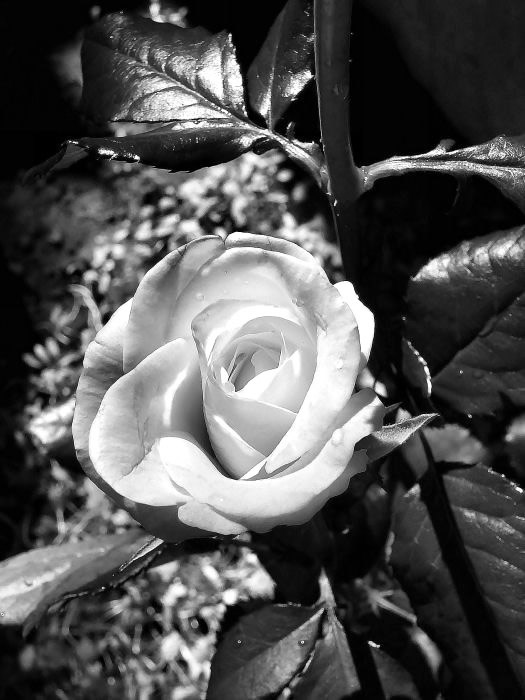 Rose immagine 7