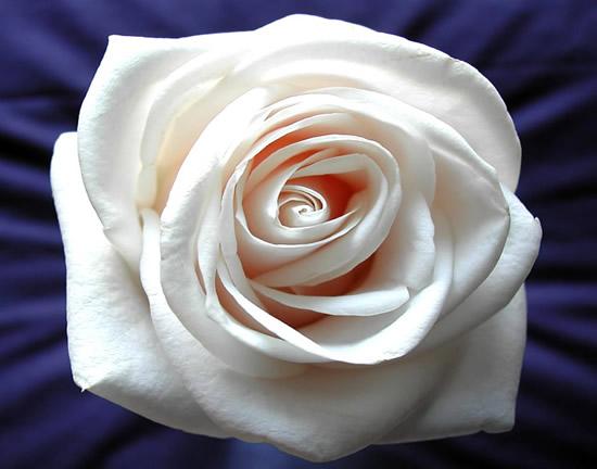 Rose immagine #252