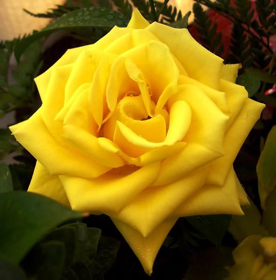 Rose immagine #277