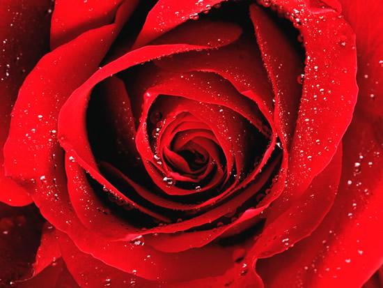 Rose immagine #279