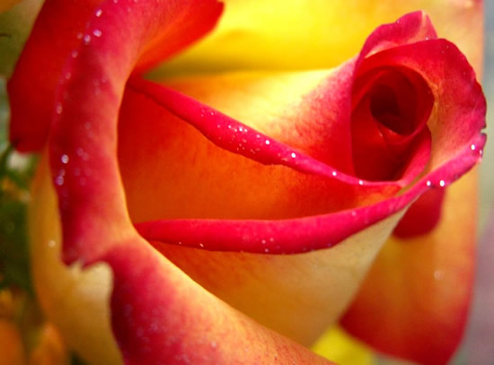 Rose immagine 12