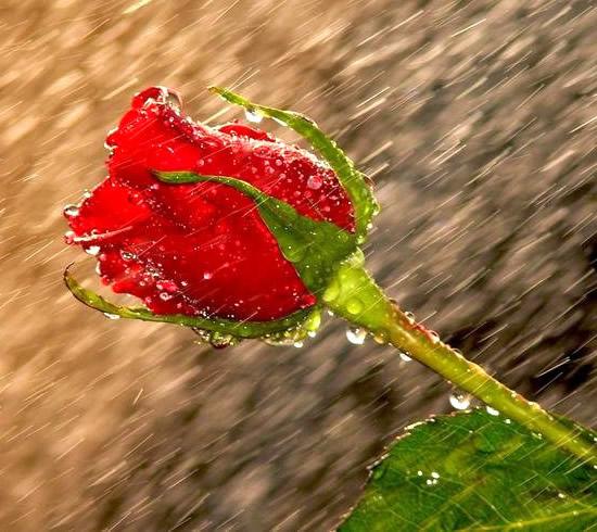 Rose immagine #286
