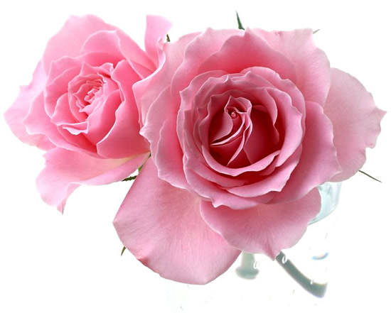 Rose immagine #287