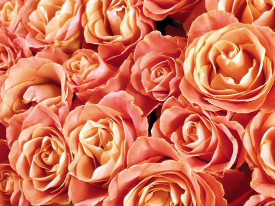 Rose immagine 9