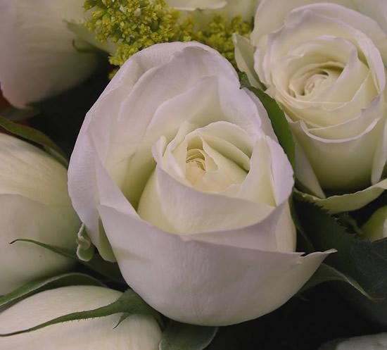Rose immagine 11