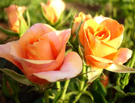 Rose immagine 15