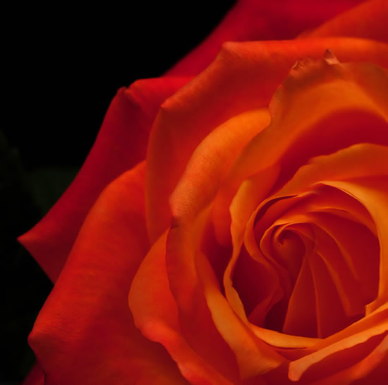Rose immagine 5