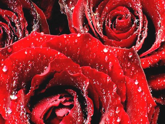 Rose immagine #316