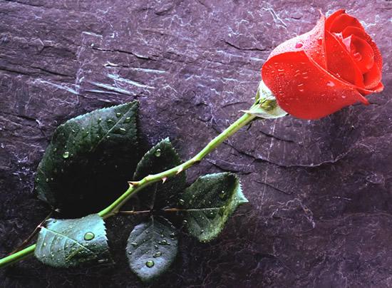 Rose immagine #329
