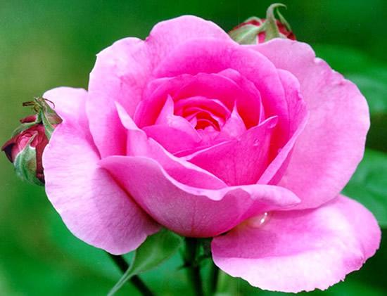 Rose immagine #332