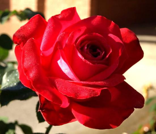 Rose immagine 3