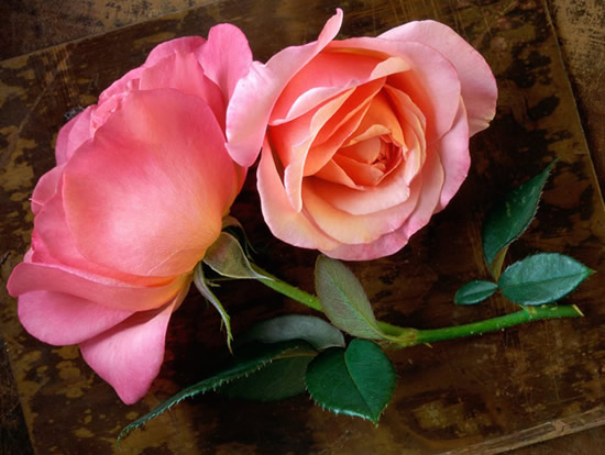 Rose immagine #341