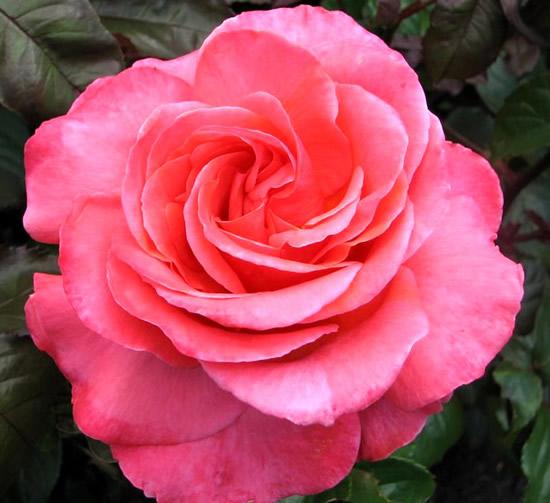 Rose immagine #361